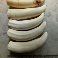 Gigi taring hewan darat raksasa antik