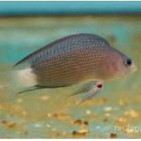 Harga Ikan Hias Air Laut Travelbon.com