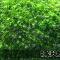 Us Fissiden Moss