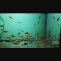 harga Ikan Mas Kecil Pakan Ikan Predator Tokopedia.com