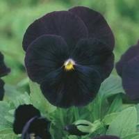 Harga benih biji bibit bunga pansy black jack import uk kemasan repack | Pembandingharga.com