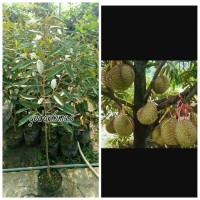 Bibit durian Bangkok
