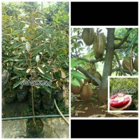 Bibit Durian merah super unggul