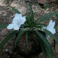 Jual Tanaman Bunga Ruellia Putih / Rawelia Mini Murah
