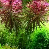 Tanaman Aquascape Aromatica Kelapaan