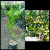 Bibit nangka sayur