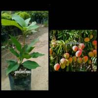 Bibit Mangga Apel