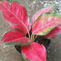 Tanaman Hias Aglonema Super Red Cochin