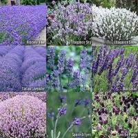 Benih Bunga Lavender Campur 9 Jenis - Lavender Mix 9 Kinds MURAH