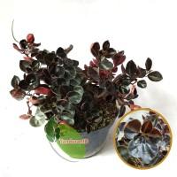 Tanaman Hias Bowl Leaf ( Daun Mangkok )