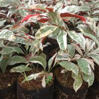 Tanaman Hias Sambang Dara | Pohon Sambang Darah