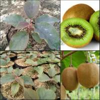 Jual Bibit Tanaman Buah Kiwi 1paket (2 pohon) Murah