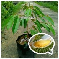 Bibit Durian Tembaga