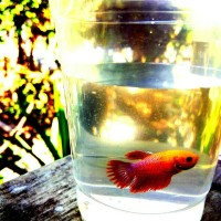 Ikan Hias Ikan Tarung Ikan Cupang Serit