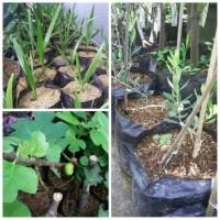Paket hemat tanaman bibit buah surga-kurma-buah tin-zaitun