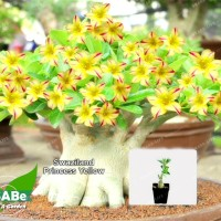 Benih Biji Adenium Swaziland Princess Yellow Bonsai