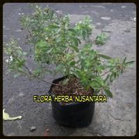 Jual Bibit Tanaman Stevia Si Manis Pengganti Gula Tebu Murah