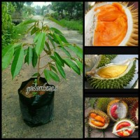 paket bibit durian 3 pohon
