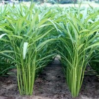 biji benih tanaman sayuran kangkung rujit
