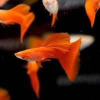 Guppy Albino Full Red Grade A+ Thailand