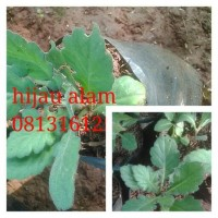 tanaman herbal daun dewa