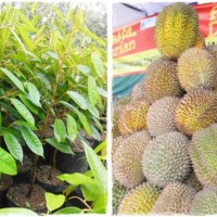 bibit durian kumbokarno kualitas super hasil buah melimpah