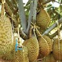 bibit durian bawor kualitas super buah yang manis legit