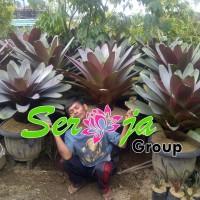 Tanaman Hias Bromelia Giant | Tanaman Hias Taman Kering