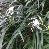 Tanaman bunga Bakung Air Mancur/Bawang-Bawangan