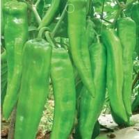 Bibit Benih Cabe Hijau Pedas / Green Hot Pepper (Import)