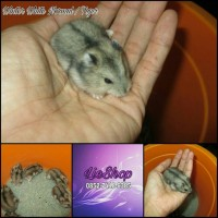 HAMSTER WINTER WHITE NORMAL / TIGER