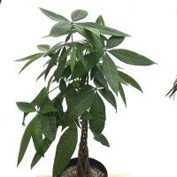 Money Tree / Pachira Aquatica / Bagus untuk Rumah dan Feng Shui