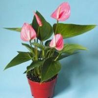 Tanaman Hias Anthurium Pink