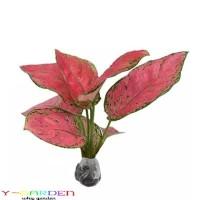 Jual Aglaonema Red Ruby / Tanaman Hias Daun / Tanaman Hidup Siam Kirim Murah