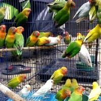 Burung Lovebird PAUD Josan / ijo standar murah