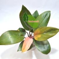 Tanaman Hias Philodendron Compact