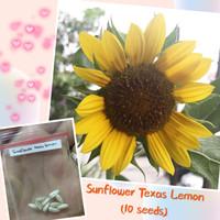 bibit bunga matahari / sunflower seed texas lemon
