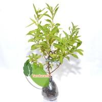 Tanaman Obat Stevia ( daun manis )