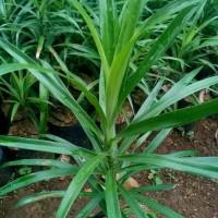 Harga tanaman suji belut pohon suji belut tanaman herbal daun sujih | antitipu.com