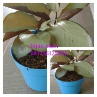 tanaman pot calatea silver / kalatea silver