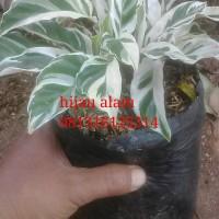 tanaman meranti tisu / tanaman maranti