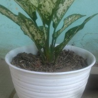 tanaman pot aglounema star with / aglonema starwith