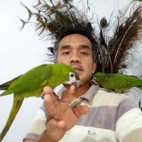 Sepasang Burung Hans Macaw