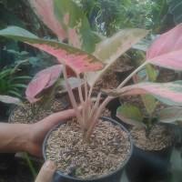 tanaman aglaunema chaucin / aglonema chocin