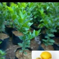 Jual Pohon Jeruk Lemon Murah
