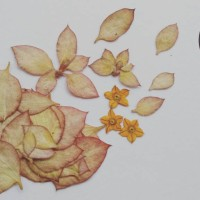 Bunga nusa indah kering