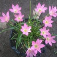 Jual Bibit/umbi/bonggol bunga lily rain/lily hujan pink Murah