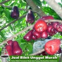 Tanaman Jambu Jamaika