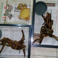ular mono pohon (boa lokal)