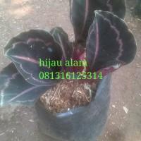 tanaman chalatea black lipstik / kalatea black lipstik
